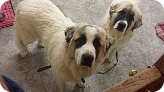 Great Pyrenees Puppy for adoption in Mount Gilead, Ohio - Smokey & Bandit