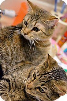 Domestic Shorthair Cat for adoption in Essington, Pennsylvania - Mable