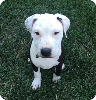 American Pit Bull Terrier Mix Puppy for adoption in Lincoln, California - Stella