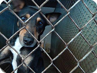 Labrador Retriever/Rottweiler Mix Dog for adoption in Henderson, North Carolina - Max*