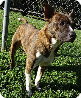 Australian Cattle Dog Mix Dog for adoption in Brooksville, Florida - MILLER