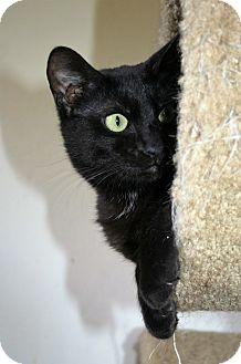 Domestic Shorthair Kitten for adoption in Santa Rosa, California - Felicity