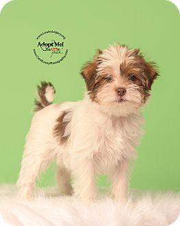 Shih Tzu/Havanese Mix Puppy for adoption in Cincinnati, Ohio - Phoebe