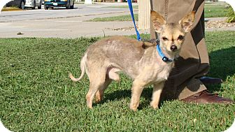 Chihuahua Mix Dog for adoption in Cameron, Missouri - Yoda