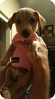 Chihuahua/Terrier (Unknown Type, Medium) Mix Puppy for adoption in Goodyear, Arizona - Frankie