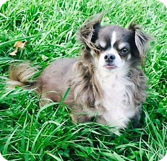 Papillon/Chihuahua Mix Dog for adoption in Osseo, Minnesota - Mickey