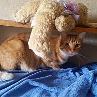 Domestic Shorthair Cat for adoption in Bronson, Florida - Dana