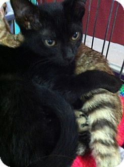 Domestic Shorthair Kitten for adoption in Seminole, Florida - Calib