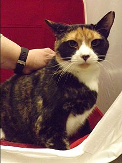 Calico Cat for adoption in Pittstown, New Jersey - Rosie