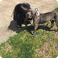 American Staffordshire Terrier/Pit Bull Terrier Mix Dog for adoption in Covington, Tennessee - Blue