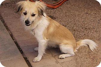 Dachshund/Chihuahua Mix Dog for adoption in Phoenix, Arizona - Brigham