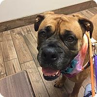 Adopt A Pet :: Bacon - Joliet, IL