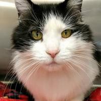 Adopt A Pet :: Kitty Boo - Waldorf, MD