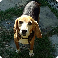 Beagle Dog for adoption in Birmingham, Alabama - Molly