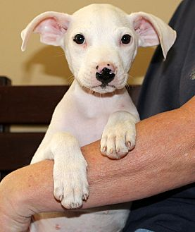 American Pit Bull Terrier/Terrier (Unknown Type, Medium) Mix Puppy for adoption in Southbury, Connecticut - Dobby