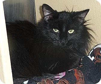 Domestic Mediumhair Cat for adoption in Logan, Utah - Rielle