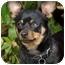 Photo 2 - Chihuahua Mix Dog for adoption in El Segundo, California - Jack