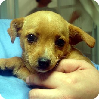 Feist/Chihuahua Mix Puppy for adoption in Manassas, Virginia - Groucho