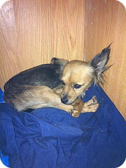 Chihuahua Mix Dog for adoption in Donaldsonville, Louisiana - Princess Laya