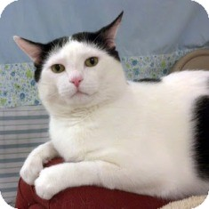 Domestic Shorthair Cat for adoption in Norwalk, Connecticut - Oreo