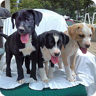 Labrador Retriever Mix Puppy for adoption in Howell, Michigan - Lab Mix Girls