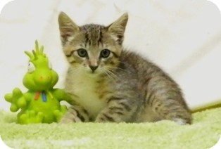 Domestic Shorthair Cat for adoption in Columbus, Nebraska - Trapper