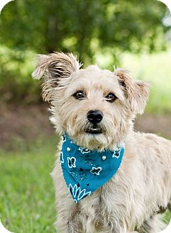 Terrier (Unknown Type, Small) Mix Dog for adoption in Portsmouth, Rhode Island - Barney-w/video!