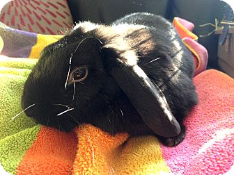 Mini Lop Mix for adoption in Portland, Maine - Mandy