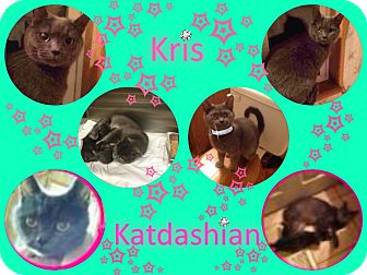 Russian Blue Cat for adoption in Hagerstown, Maryland - Kris Katdashian