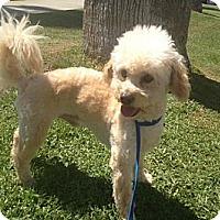 Adopt A Pet :: Chip - Oceanside, CA