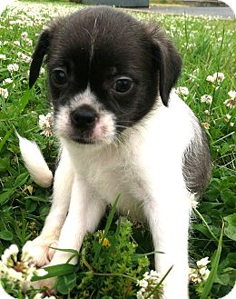 Boston Terrier/Shih Tzu Mix Puppy for adoption in Snohomish, Washington - Perfect little Puppy Pinto!