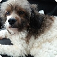 Adopt A Pet :: Bella - Pembroke pInes, FL