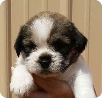 St. Bernard/Husky Mix Puppy for adoption in Huntingburg, Indiana - April