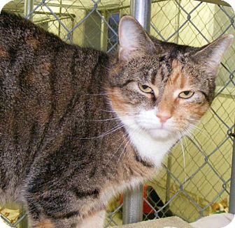Domestic Shorthair Cat for adoption in East Smithfield, Pennsylvania - Danika