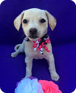 Spaniel (Unknown Type)/Terrier (Unknown Type, Small) Mix Puppy for adoption in Irvine, California - Caroline Ingalls
