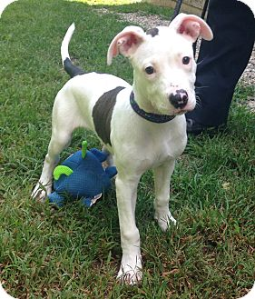 Pit Bull Terrier Mix Puppy for adoption in Bloomfield, Connecticut - Iggy Azalea