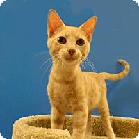 Adopt A Pet :: Arlo - The Colony, TX