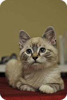 Siamese Kitten for adoption in Yorba Linda, California - Johnny Angel