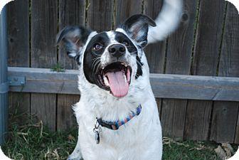 Border Collie Mix Dog for adoption in Parker, Colorado - Tessa