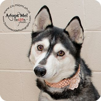 Husky Dog for adoption in Troy, Ohio - Flo
