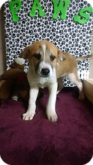 Collie/Husky Mix Puppy for adoption in Forest Hill, Maryland - Dalton