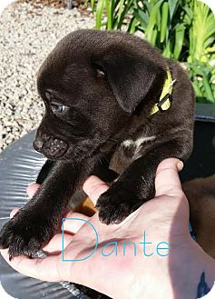 Rottweiler/Boxer Mix Puppy for adoption in waterbury, Connecticut - Dante