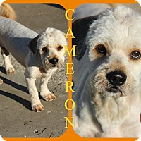 Adopt A Pet :: Cameron - Tampa, FL
