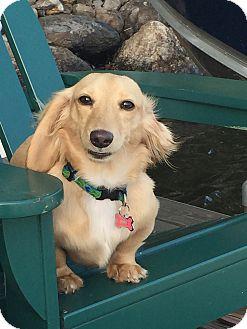 Dachshund Dog for adoption in natick, Massachusetts - Maggie
