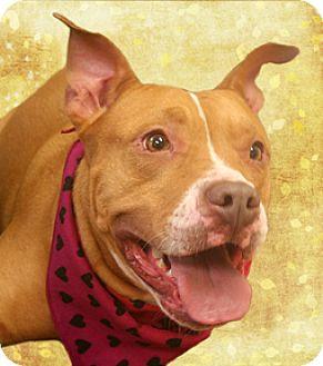 Staffordshire Bull Terrier Mix Dog for adoption in Cincinnati, Ohio - Brandy
