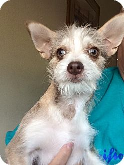 Yorkie, Yorkshire Terrier/Jack Russell Terrier Mix Puppy for adoption in Cave Creek, Arizona - Trinket