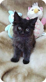 Domestic Mediumhair Kitten for adoption in China, Michigan - Phantom