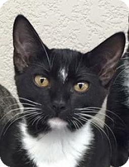 Domestic Shorthair Cat for adoption in Riverside, California - Annie