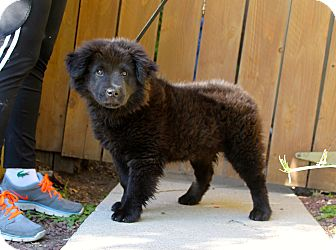 Chow Chow/Newfoundland Mix Puppy for adoption in Los Angeles, California - Tibet