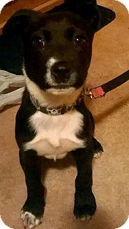 Labrador Retriever Mix Puppy for adoption in Charlotte, North Carolina - PEANUT